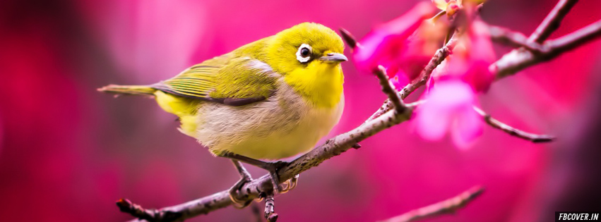 spring birds facebook covers
