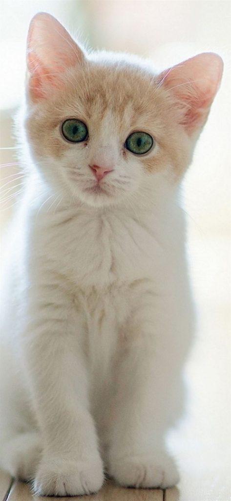 Cute Lovely Staring Kitten Cat iPhone wallpaper