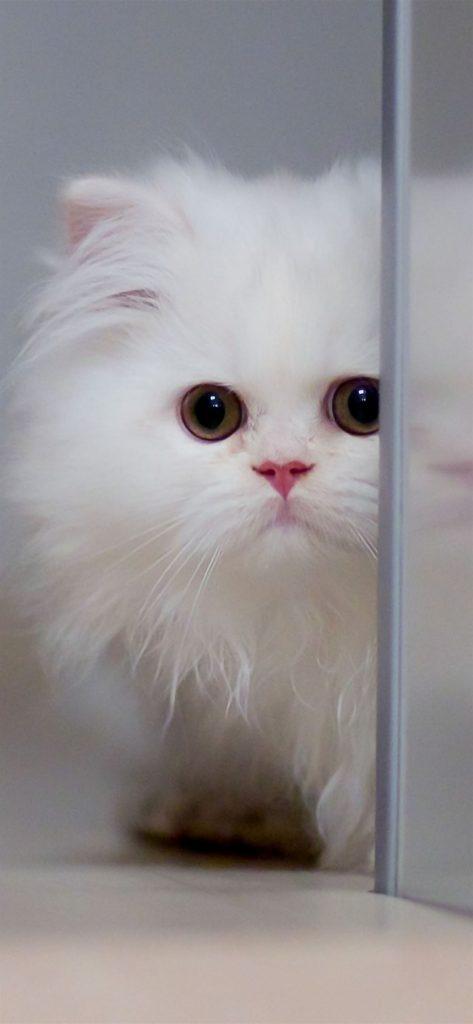 Cute White cat iphone wallpaper